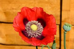 Red poppy in full bloom. Royalty Free Stock Images