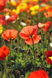 Red poppy in the garden stock photography