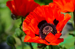Red Poppy garden Stock Images