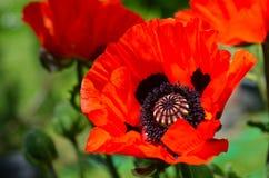Red Poppy garden Stock Images