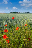 Red poppy. Germany Stock Photography