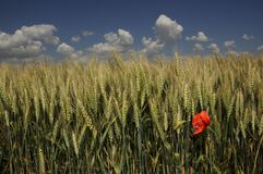 Red poppy in golden corn field with blue sky Stock Image