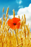 Red poppy in golden harvest under blue sky Stock Images