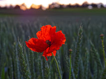 Red poppy in grain field by sunset light Stock Photography