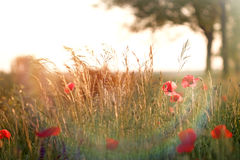 Red poppy and grass Royalty Free Stock Photography