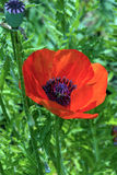 Red poppy in green background Royalty Free Stock Image