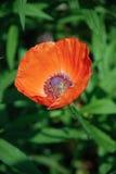 Red poppy Royalty Free Stock Photo
