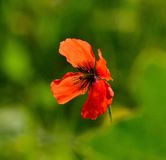Red poppy on green background Stock Photography