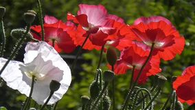 Red poppy on a green background. Close-up of poppies on a sunny day. Close-up of poppies on a sunny day. Red, white poppy on a green background.Beautiful poppy stock video footage