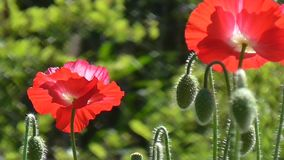 Red poppy on a green background. Close-up of poppies on a sunny day. Close-up of poppies on a sunny day. Red, white poppy on a green background.Beautiful poppy stock video