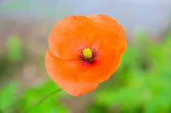 Red poppy on green Stock Photography