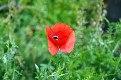 Red poppy on green background. Red ponceau flower on the field Royalty Free Stock Images