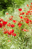Red poppy in a green field. Some red poppies between green grass, vertical ratio with focused foreground and blurred background Stock Images