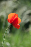 Red poppy in green field Royalty Free Stock Photo