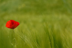 Red poppy green field Royalty Free Stock Photos