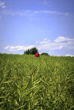 Red poppy on a green field Royalty Free Stock Image