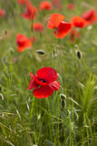 Red poppy in green field Royalty Free Stock Photography