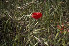 Red poppy on green field with orange flowers Royalty Free Stock Images