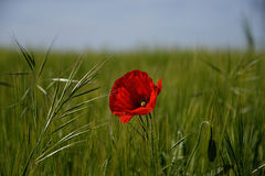 Red poppy in the green field Stock Photo