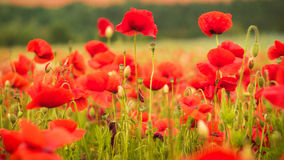 Red poppy on the green field with wheat, closeup. Red poppy on the green field with wheat Royalty Free Stock Images