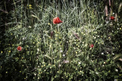 Red poppy on green field with yellow flowers. Red poppies on green weeds field with yellow  flowers in Italian countryside Royalty Free Stock Photo