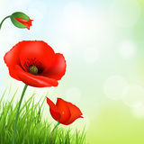 Red Poppy And Green Grass Royalty Free Stock Photography