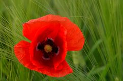 Red poppy. Red flower poppy in green grass royalty free stock image