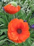 Red poppy. Royalty Free Stock Photos
