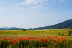 Red poppy and green grass agricultural fields with electric power columns near the mountains in Croatia Royalty Free Stock Photo