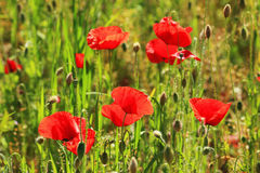 Red Poppy on the green Meadow Stock Photo