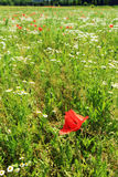 Red Poppy on the green Meadow Royalty Free Stock Photo