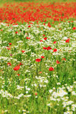 Red Poppy on the green Meadow Stock Photos