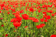 Red Poppy on the green Meadow Stock Images