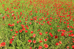 Red Poppy on the green Meadow Stock Image