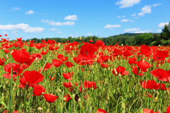 Red Poppy on the green Meadow Royalty Free Stock Photography