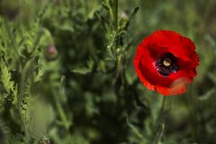 Red poppy on green weeds field. Poppy flowers.Close up poppy head. royalty free stock photos