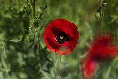 Red poppy on green weeds field. Poppy flowers.Close up poppy head. red poppy.Red poppy flowers field royalty free stock image