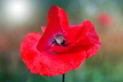 Red poppy on green weeds field. Poppy flowers.Close up poppy head. red poppy. stock photos
