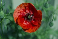 Red poppy on green weeds field. Poppy flowers.Close up poppy head. stock images