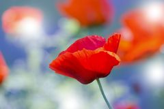 Red poppy on green weeds field. Poppy flowers.Close up poppy head. red poppy. stock images