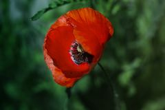 Red poppy on green weeds field. Poppy flowers.Close up poppy head. stock image