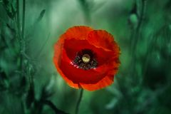 Red poppy on green weeds field. Poppy flowers.Close up poppy head. stock photo