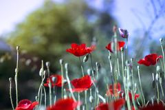Red poppy on green weeds field. Poppy flowers royalty free stock photo