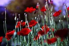 Red poppy on green weeds field. Poppy flowers stock photo