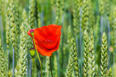Red poppy in the green wheat Royalty Free Stock Photography