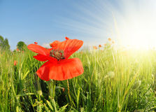 Red poppy in green wheat field. Royalty Free Stock Image