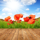 Red poppy in green wheat field. Royalty Free Stock Photo
