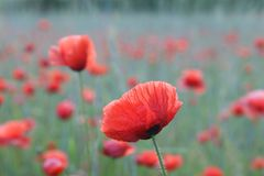 Red poppy on a grey background Stock Images