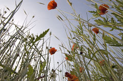 Red poppy from ground Stock Photography