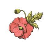 Red poppy,  illustration. Royalty Free Stock Image